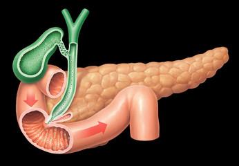 Fettverdauung- Pankreasenzyme, und Gallensekrete