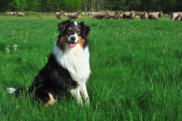 Hütehund Australian Shepherd
