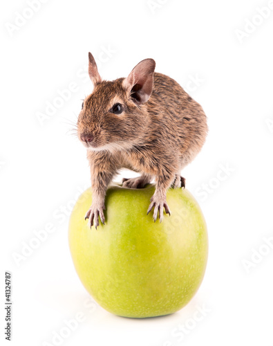 Young degu sitting on the apple (4 month)