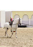 A beautiful white stallion in sand arena