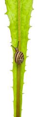 White Garden Snail or Mediterranean snail, Theba pisana