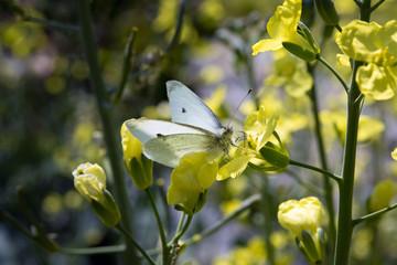 farfalla su fiore di cavolo