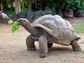 Big Seychelles turtle eat.La Vanille Reserve park.Mauritius...