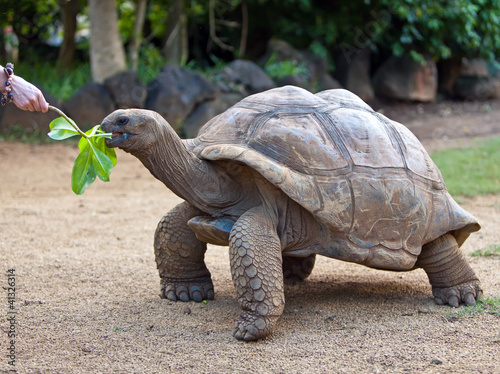 Fotobehang Schildpad Big Seychelles turtle eat.La Vanille Reserve park.Mauritius...