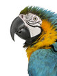 Close up of Blue and Yellow Macaw, Ara Ararauna