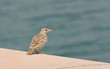 A beautiful crested lark near sea