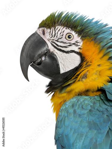 Close up of Blue and Yellow Macaw, Ara Ararauna