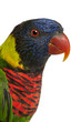 Close up of Ornate Lorikeet, Trichoglossus ornatus
