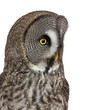 Close up of Great Grey Owl or Lapland Owl, Strix nebulosa