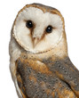 Portrait of Barn Owl, Tyto alba, in front of white background
