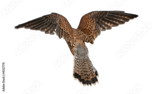 Common Kestrel, Falco tinnunculus, flying