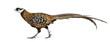 Male Reeves's Pheasant, Syrmaticus reevesii