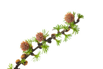 branch of a larch