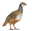 Red-legged Partridge or French Partridge, Alectoris rufa