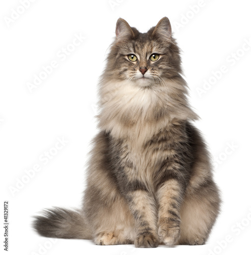 Portrait of Norwegian Forest Cat, 1 and a half years old