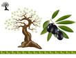 Olive tree, black olive