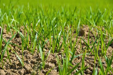 Wachstum junges Getreide im Frühjahr