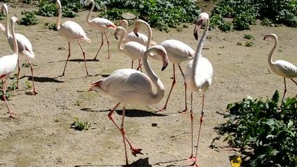 Fenicotteri rosa in gruppo