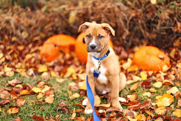 Pit Bull Shepherd mix puppy sits in fall leaves with pumpkins