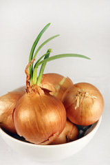 Sprouting yellow onions in a white bowl