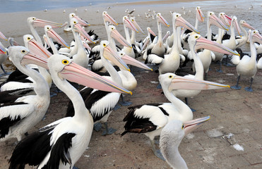 Australian Pelican, The Entrance, Central NSW, Sydney, Australia