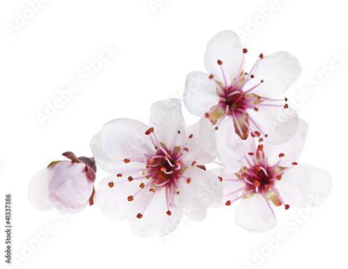 Plexiglas Kersen Cherry blossoms close up