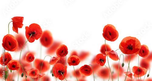 Keuken foto achterwand Poppy Poppy flowers isolated on white background