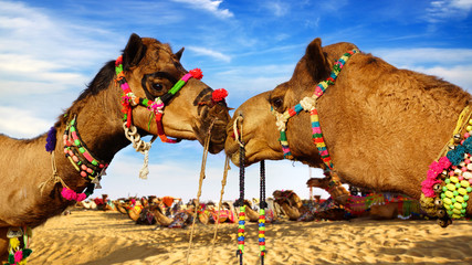 Camel Festival in Bikaner, India