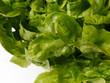 Grüner Eichblattsalat. Gartensalat (Lactuca sativa).