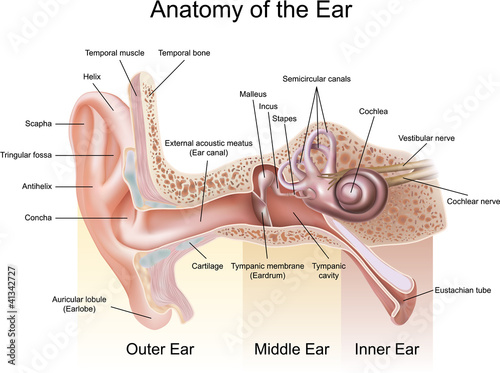Anatomy of the Ear - 41342727