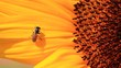 Close up shot of Honey Bee gathering pollen on sunflower