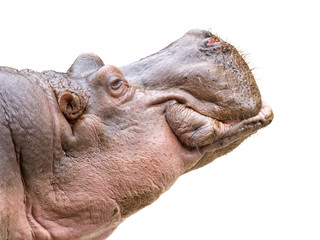 Hippo head on white