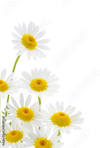 Daisies flower in white background