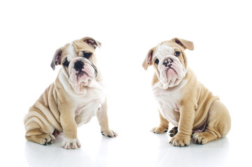 Brother and sister engish bulldog puppies isolated