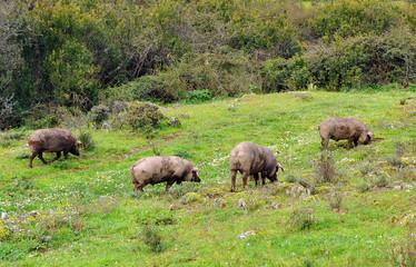 Cerdos ibéricos en la Sierra de Huelva