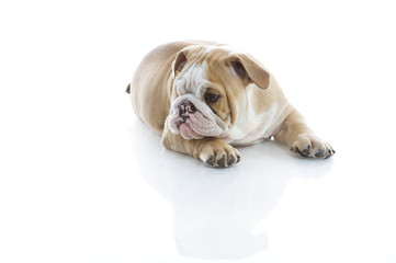 Cute english bulldog puppy isolated
