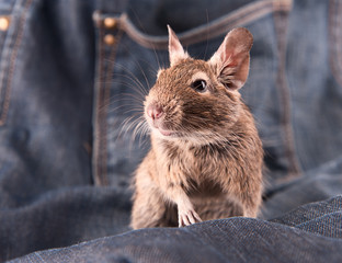 Young degu staying on the jeans (4 month)