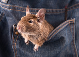 Degu in the pocket (4 month)