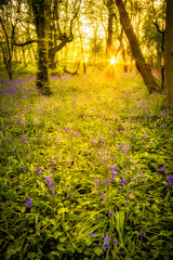 Sunrise In Bluebell Woods