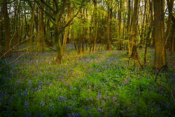 Bluebell Flowers Amongst the Trees