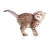 Side view of funny little Scottish fold kitten. Isolated on whit