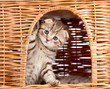 funny little Scottish fold kitten sitting inside wicker cat hous