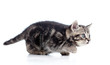 black Scottish kitten slinks isolated on white background