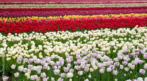stripes of colorful fields with tulips