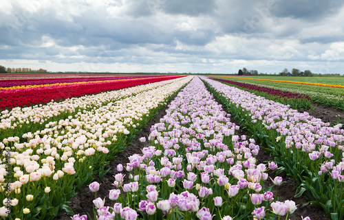 colorful fields with tulips