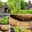 Production of tobacco, split screen