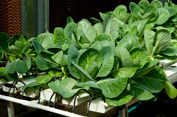 The Organic hydroponic of kale vegetable in garden