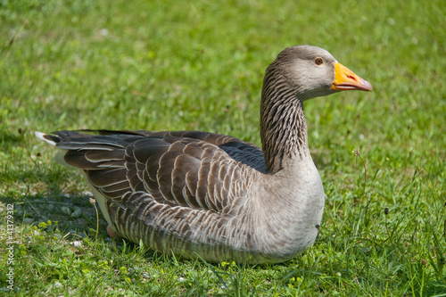 wild goose resting in grass