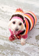 Small terrier wearing winter fashion
