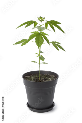 Marijuana plant in plastic pot